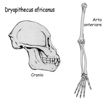 dryopithecus