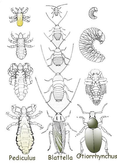 Lo sviluppo è diretto negli apterigoti il cui giovane schiude dall