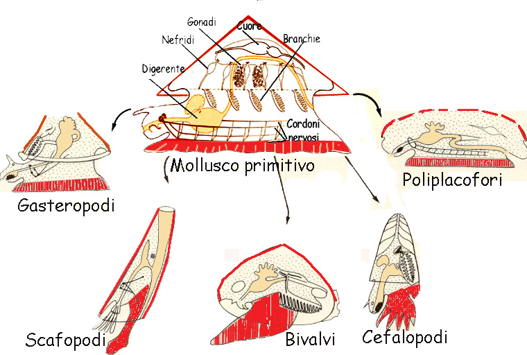 11704535 furthermore Const asp also Invertebrati also 52 20Cerianthus 20membranaceus in addition Animali Invertebrati. on celenterati