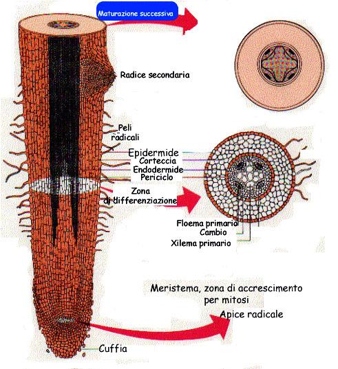 La riproduzione vegetativa delle fanerogame - Radici palma ...